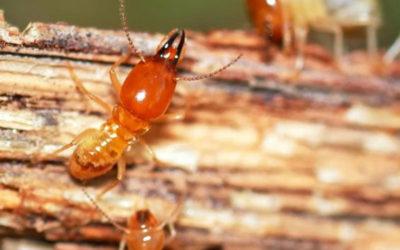 Reconnaître les insectes à larves xylophages